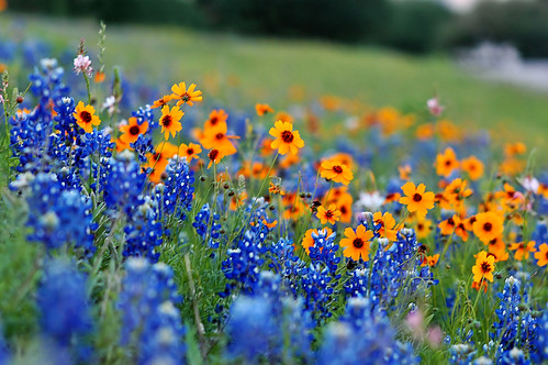 Texas Spring Texas Highways Are Blossoming With Wild Flowe Flickr