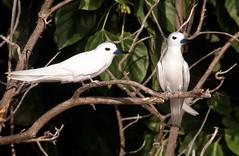 One good tern... deserves another (ExeDave) Tags: holiday bird sc nature 35mm geotagged wildlife indianocean slide olympus scan explore mangrove seychelles tern soe om2 seabird birdisland blueribbonwinner wildbird featheryfriday whitetern fairytern specanimal gygisalba firsttheearth avianexcellence geo:lat=3713198957881773 geo:lon=5520513206720352 flickr450355940