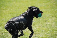 Black Labrador (limejuiceandgin) Tags: dog game nature animal easter fair warwickshire