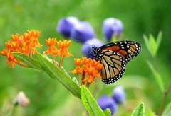 "They call it ""butterfly weed"" for a reason (Abizeleth) Tags: summer orange green topf25 butterfly garden insect ilovenature purple upstateny monarch wishingforspring butterflyweed sonnenberg naturesfinest asclepiastuberosa blueribbonwinner sonnenberggardens specnature canandaiguany abigfave p1f1 ci33 impressedbeauty specinsects 1on1allbugsphotooftheday beyondexcellence 1on1allbugsphotoofthedayapril2007 photofaceoffplatinum pfogold pfosilver pfoplatinum"