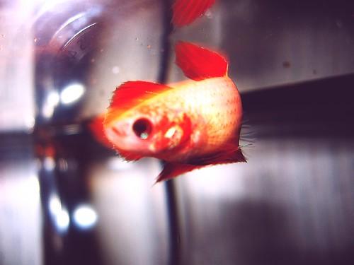 how to treat swim bladder disease in betta fish
