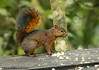 Red-tailed Squirrel (Michael Woodruff) Tags: southamerica canon ecuador squirrel sa redtailed 30d subtropics sciurus tandayapa tandayapavalley redtailedsquirrel sciurusgranatensis nwecuador