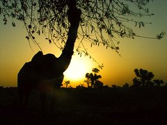 Ship of the desert (Aditya Rao.) Tags: road trip shadow sun tree fruit dawn ship village desert camel gradient beast bits silhoutte burden hump rajasthan rao photog pilani beastsofburden pahadi