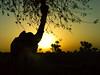 Ship of the desert (Aditya Rao.) Tags: road trip shadow sun tree fruit dawn ship village desert camel gradient beast bits silhoutte burden hump rajasthan rao photog pilani beastsofburden pahadi