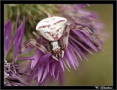 Extraña Araña  (Araña cangrejo) (Warper4) Tags: naturaleza macro nature animals spider reflex olympus animales araña e500 uro warper warper4 sigma105mmf28exdgmacrofourthirds