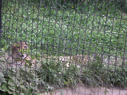 Cheetah Through Fence