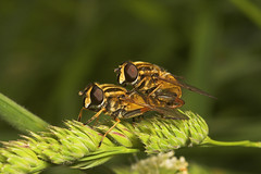 "Mating Hoverflies • <a style=""font-size:0.8em;"" href=""http://www.flickr.com/photos/57024565@N00/518359362/"" target=""_blank"">View on Flickr</a>"