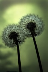 Dandelions (Stefan Sderstrm) Tags: flowers flower weather clouds mood rainyday perspective dandelion seeds bubble mighty dull dandelions darksky maskros reproductive kirschner ruderalia majestetic ruderaliakirschner