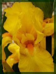 Soft yellow (Kirsten M Lentoft) Tags: iris flower yellow jesters naturesfinest supershot flowerscolors momse2600 kirstenmlentoft