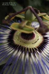 Passiflora caerulea -Clock Flower- #2 (sakura_chihaya+) Tags: passiflora osaka flower caerulea トケイソウ macro