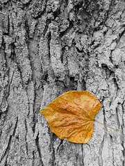 Fall (cryssychu) Tags: leaf tree orange fall autumn bark nature contrast