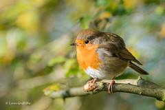 Robin - Sitting pretty D50_5083.jpg (Mobile Lynn) Tags: robin birds nature wild bird fauna oscines passeri passeriformes songbird songbirds wildlife silverdale england unitedkingdom gb
