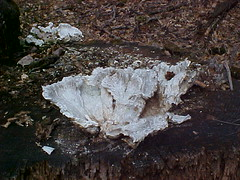 Chicken of the Woods (white, decayed )