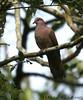 Ruddy Pigeon (Michael Woodruff) Tags: foothills bird birds ecuador pigeon birding 2007 ruddy patagioenas nwecuador milpe ruddypigeon patagioenassubvinacea milpebirdsanctuary