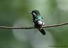 Green Thorntail (Michael Woodruff) Tags: foothills green bird birds ecuador birding greenthorntail discosuraconversii discosura nwecuador milpe milpebirdsanctuary thorntail