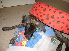S6005184 (robstephaustralia) Tags: dog cute puppy dante great mastiff dane bullfight toro matador