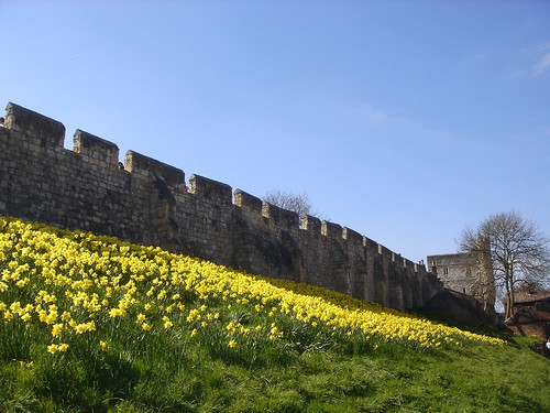 Daffodils on City Wall, York