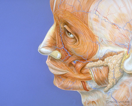 Human face anatomy