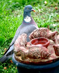 a drink maybe? (Gosia Margosia) Tags: bird birdie bravo colours pigeon beautifullight gob inmygarden columbapalumbus gobgrzywacz impressedbeauty diamondclassphotographer sointerested