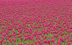 Tulips Anyone? (Peggy Collins) Tags: flowers color purple tulips beds explore fields skagitvalleytulipfestival supershot interestingness150 i500