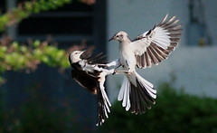 may i have this dance ! (jay j wilkie) Tags: motion birds top20action dance movement shot action super motionblur fighting finest natures bif jesters mocking stopaction peopleschoice naturesfinest blueribbonwinner picturecollection cotcmostinteresting supershot specanimal creativephotographer diamondclassphotographer flickrdiamond ysplix