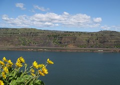 wildflower timing (carolyn_in_oregon) Tags: flowers oregon train washington hiking columbiarivergorge balsamroot tommccallpreserve
