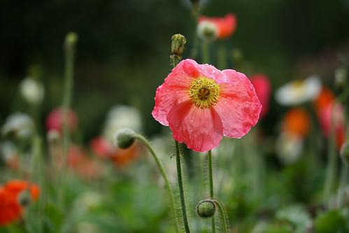 rainy poppy 1