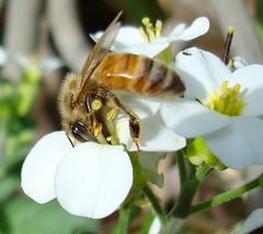 Busy Bee (Bluebird0927 (ON/OFF)) Tags: flowers white macro bees coolest anawesomeshot goldenphotographer wowiekazowie diamondclassphotographer photosandcalendar mywinnters thatsclassy