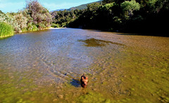 swimming Santa Ynez river (artfilmusic) Tags: dog swimming river maggie terrier welsh santaynezriver
