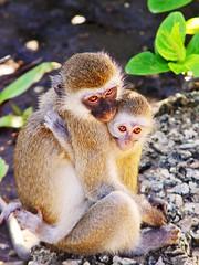 [フリー画像] 動物, 哺乳類, ヒト科, 猿・サル, 家族・親子(動物), 201007120500