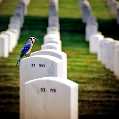 in memory of... (DocTony Photography) Tags: travel usa bird cemetery arlington washingtondc dc washington memorial bravo searchthebest tomb bluejay jaybird magicdonkey superaplus aplusphoto ultimateshot goldenphotographer doctony flickrelite weareinthesamethoughtstonight