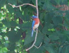 Mom's bluebird male