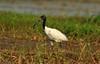 DSC_0781 (Suman_1976) Tags: birds nikond700 nature 300mmf4 14eii wildlife chupichar migratory