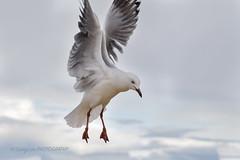 SILVER GULL (Chroicocephalus novaehollandiae) (l03lchang58) Tags: bird gull silvergull flying free nsw australia animal outdoor changlamphotography nature life