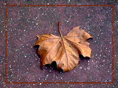 dry leaf..... (Dr_Tariq) Tags: uk london leaf floor style dry frame tariq patta sookha