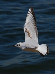 Guincho // Black-Headed Gull - by jvverde