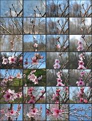 peach Blossom mosaic -- progression
