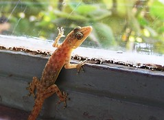 Lizard on a window pane