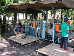 Sheep shearing in Kazakhstan
