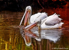White Pelicans - Spring Is In The Air (Michael Pancier Photography) Tags: nature birds florida flamingo evergladesnationalpark waterbirds fineartphotography naturephotography seor americanwhitepelican naturesfinest pelecanuserythrorhynchos naturephotographer floridabirds abigfave floridaphotographer pancier michaelpancier michaelpancierphotography avianphotography mrazekpond avianexcellence floridaavianphotography wwwmichaelpancierphotographycom seorcohiba floridabirdsbirdsofflorida