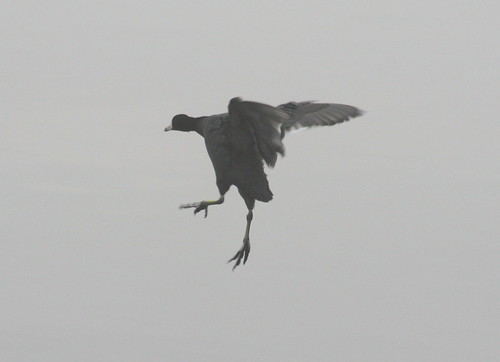 american coot landing