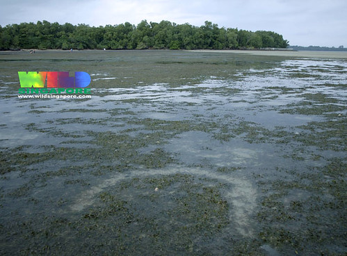 Dugong feeding trail on Chek Jawa