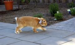 Running outside (Sjaek) Tags: pet cute rabbit bunny animal garden outside furry adorable fluffy running tiles boef