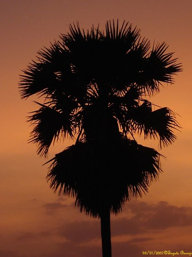 Palm Silhouette