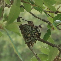 Humming Bird in Nest