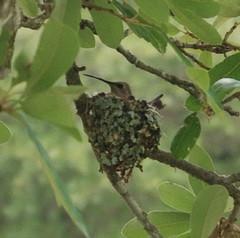 Humming Bird in Nest