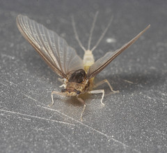 "Mayfly (caenis)(2) • <a style=""font-size:0.8em;"" href=""http://www.flickr.com/photos/57024565@N00/524541680/"" target=""_blank"">View on Flickr</a>"