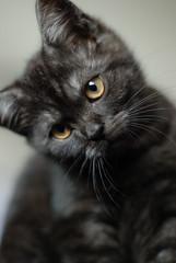 Coco (luns_spluctrum) Tags: cat interestingness interesting kitten coco britishshorthair blacksmoke 50mmf18af