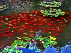 Red Fish in a pond (Daniel Schwabe) Tags: china red fish pond beijing soe blueribbonwinner interestingness27 i500 abigfave colorphotoaward superbmasterpiece diamondclassphotographer 2jun07 thegardenofzen lpred chineseculturespark