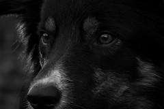 Close-up (Flemming Andersen) Tags: blackwhite bordercolli animal outdoor yatzy closeup dog nature hurupthy northdenmarkregion denmark dk